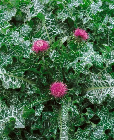 milk thistle from amz listing